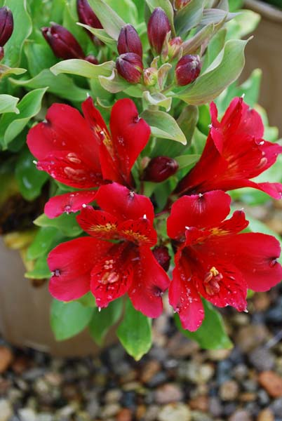 Growing spectrum wholesale plant nursery hamilton nz alstroemeria mightylinksfo