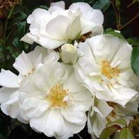 Growing spectrum wholesale plant nursery hamilton nz rose flower carpet white mightylinksfo
